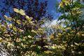 Japanischer Blumen-Hartriegel - Cornus kousa