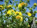 Kanadisches Johanniskraut 'Gemo' - Hypericum kalmianum 'Gemo' / Syn. densiflorum 'Gemo'