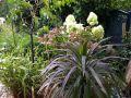 Rispenhortensie 'Unique' - Hydrangea paniculata 'Unique'