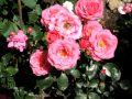Beetrose 'Bella Rosa' � - Rosa 'Bella Rosa' �