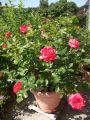 Beetrose 'Midsummer' � - Rosa 'Midsummer' �