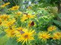Hoher Alant - Inula magnifica