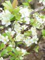 Familienbaum Prunus - 3 verschiedene Sorten - z. B. 'Zwetsche, Mirabelle, Pflaume'