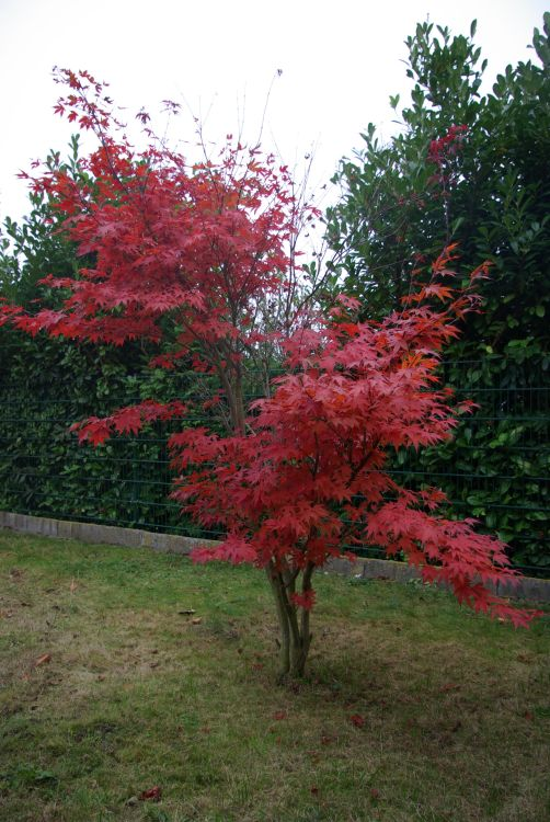 roter f cherahorn 39 atropurpureum 39 acer palmatum. Black Bedroom Furniture Sets. Home Design Ideas
