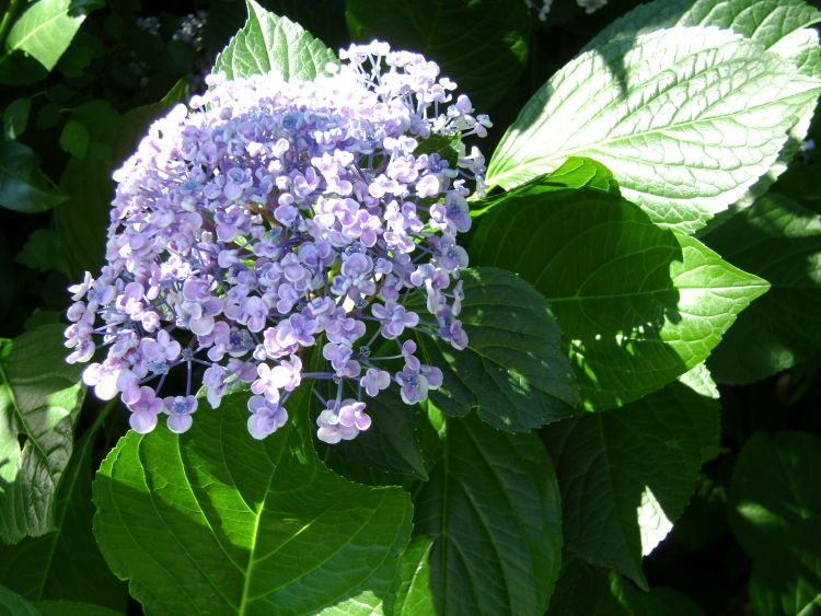 flieder hortensie 39 ayesha 39 s hydrangea macrophylla. Black Bedroom Furniture Sets. Home Design Ideas