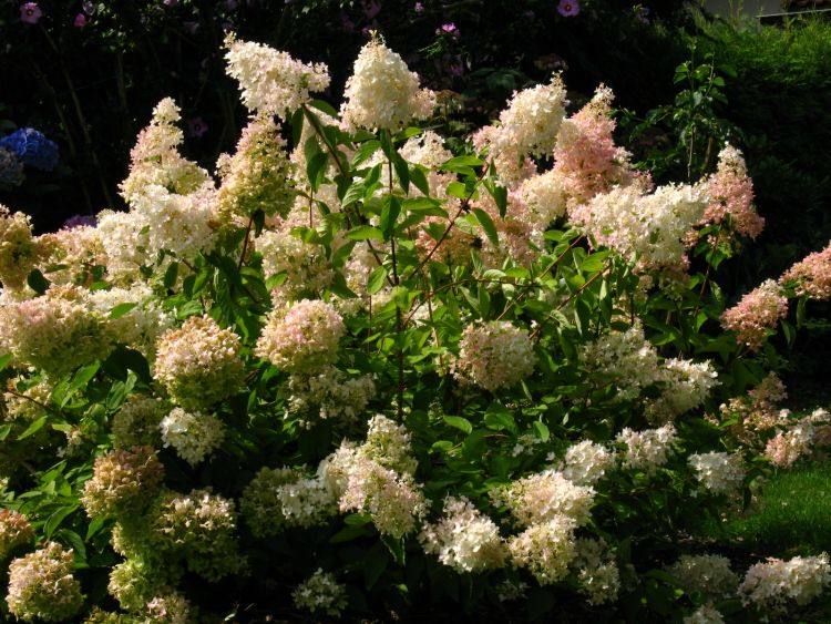 rispenhortensie 39 grandiflora 39 hydrangea paniculata. Black Bedroom Furniture Sets. Home Design Ideas