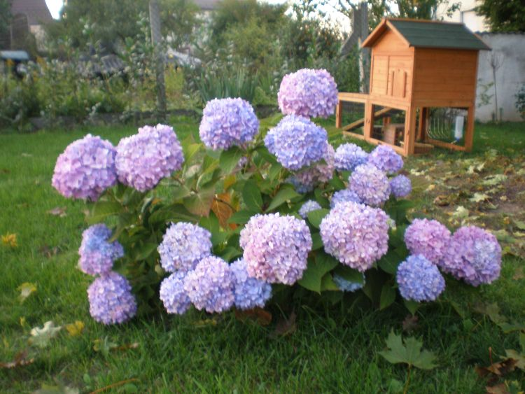 ballhortensie endless summer 39 the original 39 blau hydrangea macrophylla endless summer. Black Bedroom Furniture Sets. Home Design Ideas