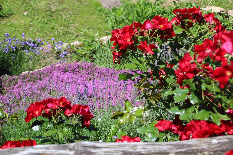 bodendecker rose 39 apache 39 rosa 39 apache 39 baumschule horstmann. Black Bedroom Furniture Sets. Home Design Ideas