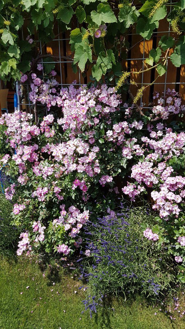bodendecker rose 39 lavender dream 39 rosa 39 lavender dream. Black Bedroom Furniture Sets. Home Design Ideas