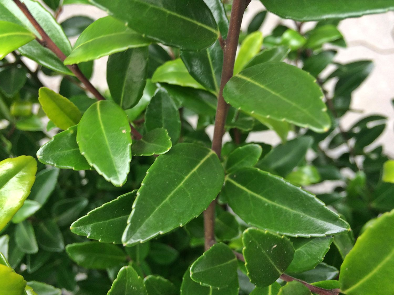 Japanische stechpalme 39 evergreen 39 ilex maximowicziana for Evergreen pflanzen