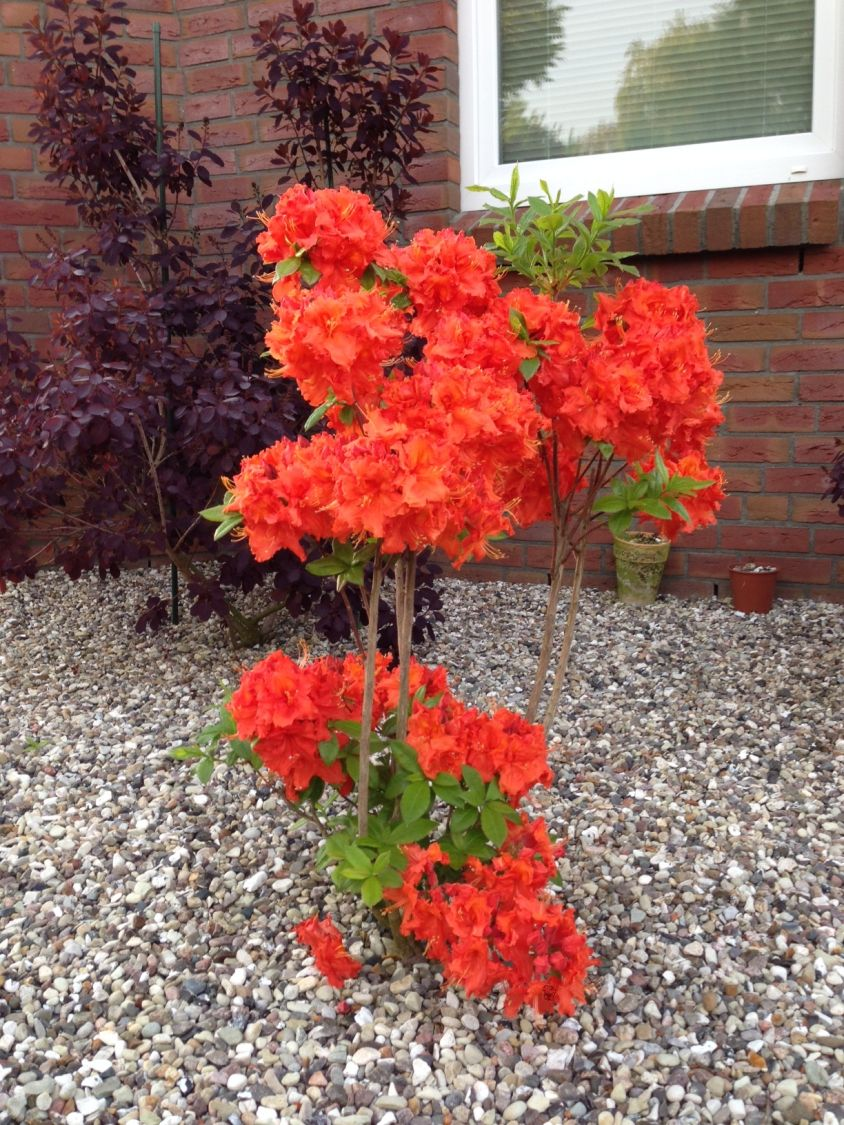 laubabwerfende azalee 39 gibraltar 39 rhododendron luteum 39 gibraltar 39 baumschule horstmann. Black Bedroom Furniture Sets. Home Design Ideas