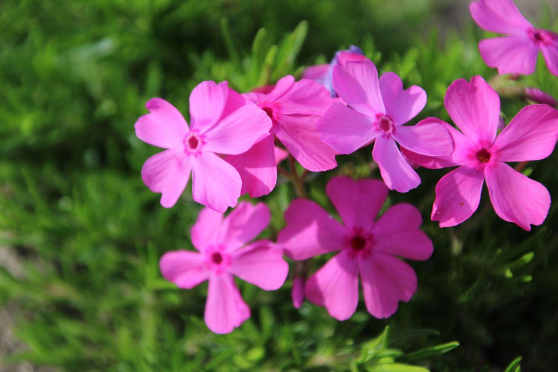 40 Stück Teppichphlox Flammenblume rosa  Phlox subulata Mac Daniels Cushion