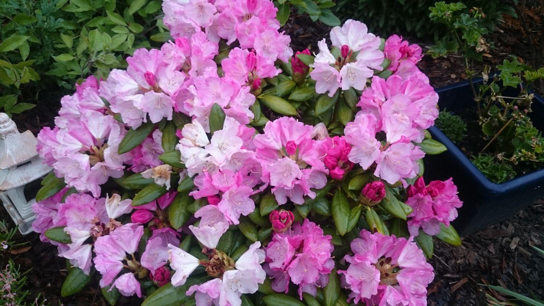 rhododendron 39 polaris 39 rhododendron yakushimanum. Black Bedroom Furniture Sets. Home Design Ideas