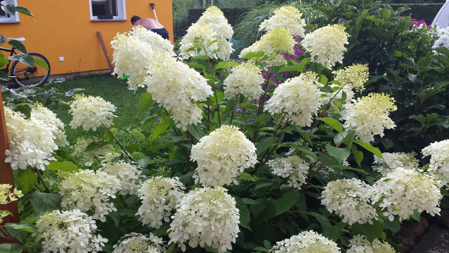 rispenhortensie 39 phantom 39 hydrangea paniculata 39 phantom. Black Bedroom Furniture Sets. Home Design Ideas