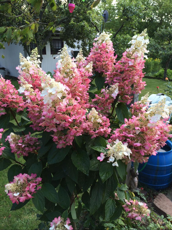 rispenhortensie pinky winky hydrangea paniculata