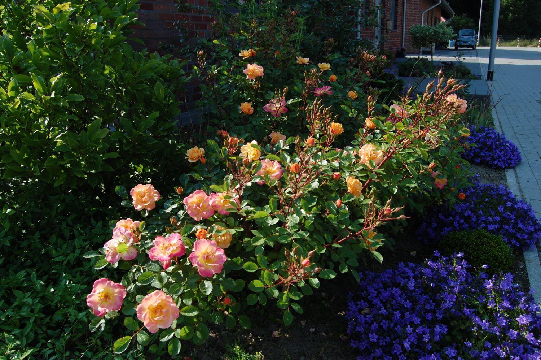 Роза apricot clementine