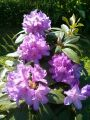 Rhododendron 'Catawbiense Boursault' - Rhododendron Hybride 'Catawbiense Boursault'