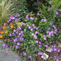 Storchschnabel 'Rozanne' � - Geranium wallichianum 'Rozanne' �