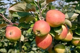 Rote oder lieber grüngelbliche Schale? Süß oder eher säuerlich schmeckend? Wofür Sie sich auch entscheiden, in unserem Sortiment aus vitaminreichen Apfelsorten findet jeder das Richtige.