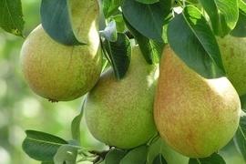 Es muss nicht immer der Apfel sein. Birnen sind eine herrlich saftige Alternative und genauso vielfältig verwendbar. Wie wäre es denn z. B. mal wieder mit einer leckeren Birne Helene?