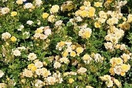 Ein königlicher Anblick im Garten! Bodendecker-Rosen verschönern mit ihrem Wuchs ganze Flächen und sorgen für einen majestätischen Blütentraum. Sie bleiben recht klein, überziehen offene Flächen, zeigen Blühwilligkeit, sind pflegeleicht und gut winterhart.