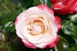 Sie sind die Königinnen unter den Rosen. Keine andere Gruppe kann elegantere Blüten vorweisen als die Edelrose. Hinzu kommt meistens ein unvergleichlicher Duft, der die Sinne betört. Durch ihre langen Stiele ist sie sehr gut für den Vasenschnitt geeignet.