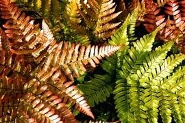 Sie gehören zu den ältesten Pflanzen der Welt! Obwohl sie weder Blüten noch Früchte entwickeln sind Farne mit ihren äußerst dekorativen Blattwedeln hervorragend zur Gartengestaltung geeignet.