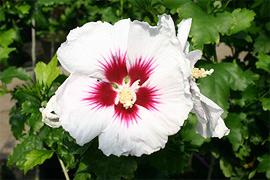 Ob strahlend weiß oder bunt blühend, ob gefüllt oder einfache Blüte - unser Hibiskus-Sortiment läßt keine Wünsche offen. Alle Sorten sind winterhart und lassen sich wirkungsvoll in Gefäße pflanzen.