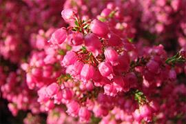 Bekannt als Glockenheide aufrund der Form ihrer Blüten. Für ihren außergewöhnlichen Anblick ist die Irische Heide beliebt. Die immergrünen Sorten fallen nicht nur während der Blütezeit auf, sondern sind in der kalten Jahreszeit ein Farbklecks.