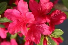 Japanische Azaleen sorgen vor allem in Gruppenpflanzen für eindrucksvolle Farbeffekte, sind aber auch im Einzelstand ein echter Hingucker. Heide-, Stein- oder auch Japangärten erhalten durch sie das gewisse Etwas.