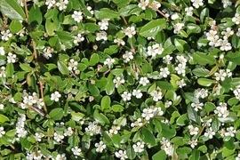 Sie gehören zu den beliebtesten Sorten für die Flächenbegrünung! Pflegeleicht, anspruchslos und ein typischer, flächendeckender Wuchs. Als immergrüner Teppich, laubabwerfende Saisonschönheit oder Blütenmeer - entscheiden Sie selbst!