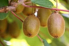 Exklusive Obst-Sorten befinden sich unter dem Kletterobst. Obstfreunde entdecken hier die köstliche Kiwi oder die Weintraube. Kletterobst schmückt mit passender Rankhilfe eindrucksvoll Ihren Garten. Hoher Zierwert, köstliche Früchte - was will man mehr?