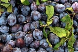 Hier finden Sie leckere und aromatische Pflaumen und Zwetschgen, die zwischen Juli und Oktober erntereif sind.  Neben den Vitaminen A und C haben diese Früchte sämtliche Vitamin B-Sorten.