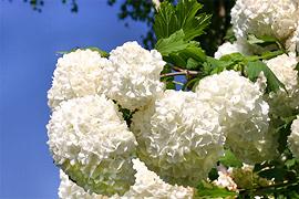 Mit diesen attraktiven Gehölzen müssen Sie auch im Sommer nicht auf ein kleines Stück Winter verzichten. Durch ihre meistens reinweiße Blütenpracht verfügen sie über eine gute Fernwirkung.