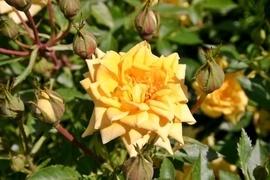 Zwergrosen machen die ihnen fehlende Größe durch überraschend große Blüten wieder wett. Sie eignen sich auf Grund ihres Wuchses besonders für Beeteinfassungen und Pflanzungen in Töpfen, Kübeln und Balkonkästen.
