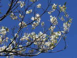 Amerikanischer Blumen-Hartriegel 'Cloud Nine' - Cornus florida 'Cloud Nine'