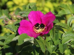 Apfelrose / Kartoffelrose / Hagebutte, 40-60 cm, Rosa rugosa, Wurzelware