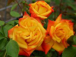 Beetrose 'Samba' � - Rosa 'Samba' �