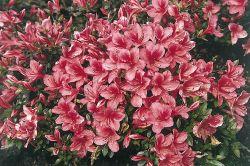 japanische azalee 39 marilee 39 rhododendron obtusum 39 marilee 39 baumschule horstmann. Black Bedroom Furniture Sets. Home Design Ideas