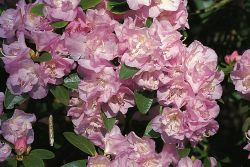Rhododendron 'April Reign' - Rhododendron dauricum 'April Reign'
