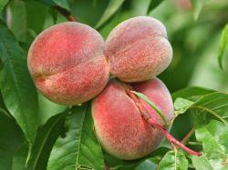Pfirsich 'Red Haven' - Prunus persica 'Redhaven'