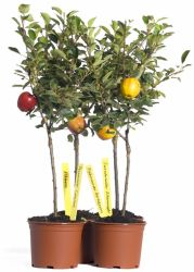 Minist�mmchen Apfel 'James Grieve' - Malus 'James Grieve'