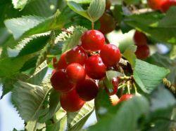 S��kirsche 'Fr�he Rote Meckenheimer' - Prunus 'Fr�he Rote Meckenheimer'
