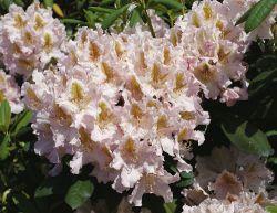 Rhododendron 'Matterhorn' - Rhododendron Hybride 'Matterhorn'