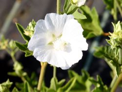 Strauchpappel 'Ice Cool' - Lavatera thuringiaca 'Ice Cool'