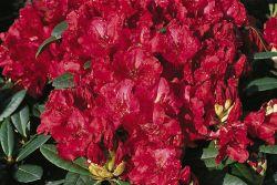 Rhododendron 'Sardana' - Rhododendron haematodes 'Sardana'