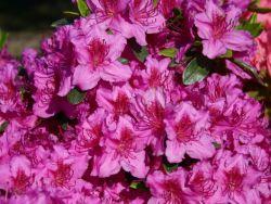 Japanische Azalee - Azalea japonica