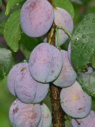 S�ulenpflaume 'Imperial' - Prunus domestica 'Imperial'