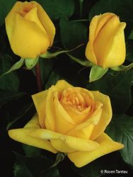 Edelrose 'Golden Tower' � - Rosa 'Golden Tower' �