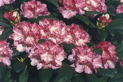 Rhododendron 'Fr�hlingsanfang' - Rhododendron yakushimanum 'Fr�hlingsanfang'
